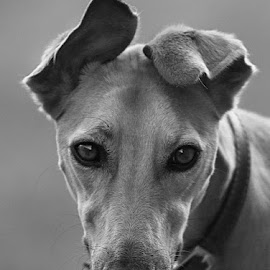 Connie by Chrissie Barrow - Black & White Animals ( monochrome, black and white, pet, grey, dog, mono, lurcher, portrait, animal )