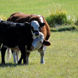 MOTHERLY LOVE by Cynthia Dodd - Novices Only Pets ( farm, animals, nature, calf, wildlife, farmland, cows )