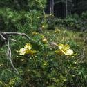 Fern-Leaved False Foxglove