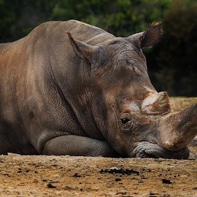 REsting by Cristobal Garciaferro Rubio - Animals Other Mammals ( resting, africam, mexico, safari, big animal, rhino )