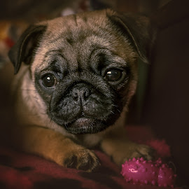 Pug puppy Ginny by Malcolm Hare - Animals - Dogs Portraits