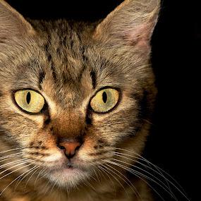 Stare by Sharulfizam Adam - Animals - Cats Portraits ( cats, dark, portraits, animal, eyes )