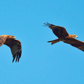 Two black kites in the air by Francois Wolfaardt - Animals Birds ( flying, kites, birds, raptors, black )