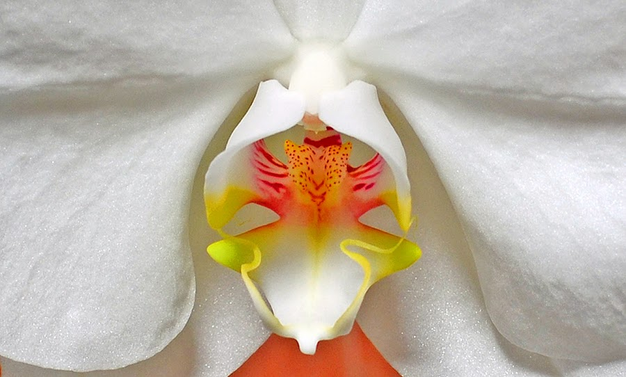 White Orchid by William Lallemand - Nature Up Close Flowers - 2011-2013