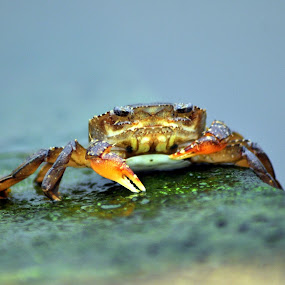 Mr. Crab by Naufal Aziz - Animals Sea Creatures