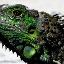 Iguana by Ana Paula Filipe - Animals Reptiles ( reptiles, green, iguana, close, animal )