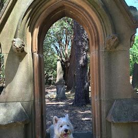 A Resting West Highlander by Dawn Simpson - Animals - Dogs Portraits ( cemetery. resting, dogs, cute, west highland terrier )