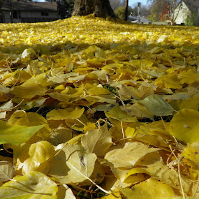 Yellow Carpet by Barb Toews - Nature Up Close Leaves & Grasses ( fall leaves on ground, fall leaves )