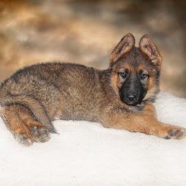 plush pup by Dawn Vance - Digital Art Animals ( pet portrait, pet, puppy, german shepherd, animal )