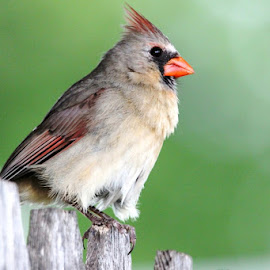 lady cardinal by Rita Flohr - Novices Only Wildlife ( bird, cardinal, nature, female cardinal, feathers )