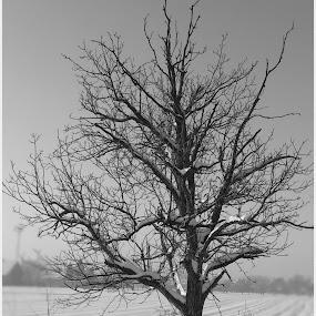 by Zlatko Sarcevic - Uncategorized All Uncategorized ( winter, b&w, tree )