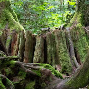 by Susan and Arwinder Nagi - Landscapes Forests ( nature images, emerald green forest, magical forest, nature scenes, woods, shannon falls, forests, trees, majestic forest, forest images,  )