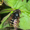 Syrphid Fly ♂