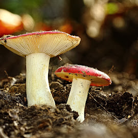 Duo de Russule by Gérard CHATENET - Nature Up Close Mushrooms & Fungi