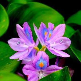 Water Hyacenth by Soumaya Karmakar - Flowers Flowers in the Wild