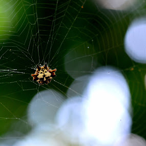 spider by 思远 郭 - Animals Insects & Spiders ( face, spider, net, sun, animal )