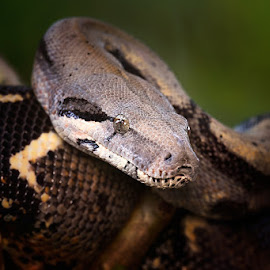What ya' lookin at? by Miko Adji - Animals Reptiles ( snake, single, outdoor photography, phyton, reptile, conceptual, animal,  )