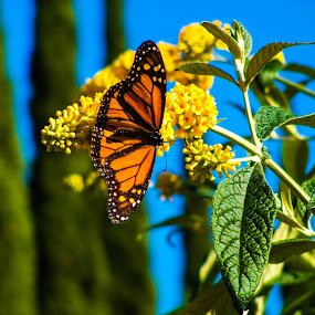 Monarch Butterfly by Jacob Woolwine - Novices Only Wildlife ( pedals, jacob, flower )