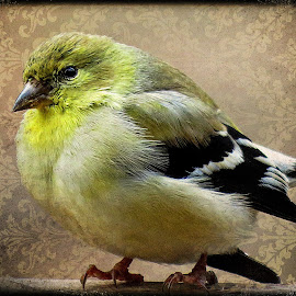 Finch by Diane Merz - Digital Art Animals
