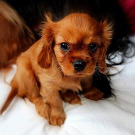 Baby dog by Camilla Uddgren - Animals - Dogs Puppies