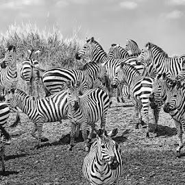 Zebras by Pravine Chester - Black & White Animals ( zebras, monochrome, black and white, animals, wildlife )