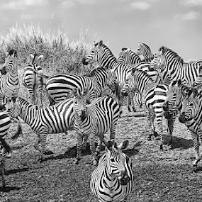 Zebras by Pravine Chester - Black & White Animals ( zebras, monochrome, black and white, animals, wildlife )
