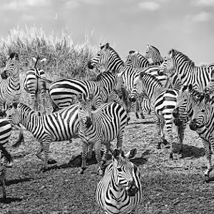 Zebras3719bwm.jpg