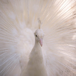White peacock by Came Lia - Animals Birds