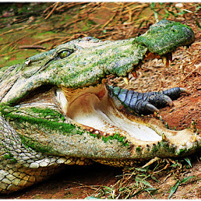 Indian Marsh crocodile/ Mugger crocodile by Saeed Shoummo - Novices Only Wildlife