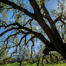 Mighty Oak by Kerry Perkins - Nature Up Close Trees & Bushes ( forests, oaks, trees, landscapes, woods )