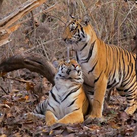 Tigers Love! by Sanket Dhande - Animals Lions, Tigers & Big Cats