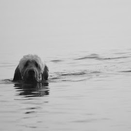Dog by Erin Shamley - Animals - Dogs Playing ( dogs, black and white, swim, dog, swimming )