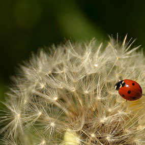 dandelion angela by Kati Raileanu - Animals Insects & Spiders