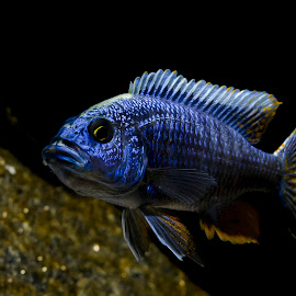 You looking at me? by Star Image - Animals Fish ( cichlid, blue, fish, swim, aquarium )