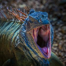 Yawning Iguana by Ed & Cindy Esposito - Animals Amphibians ( yawning, mouth, isla roatan, iguana, caribbean )