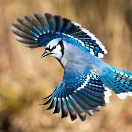 Flight of the Blue Jay by Susan Hughes - Animals Birds ( flight, blue jay,  )