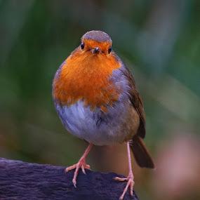Robin by Bob Rawlinson - Animals Birds