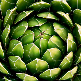 Agave Perfection by Dale Kesel - Nature Up Close Other plants ( succulent, detail, desert, soft lighting, green, plants, gardens, beauty in nature, highlight, agave, variegated, lighting, shadow, arizona, dramatic, desert flora )
