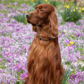 Spring is around the corner. by Ken Jarvis - Animals - Dogs Portraits ( spring flowers, irish setter, crocus, dog portrait, irish, dog, springtime, spring )