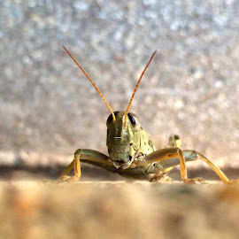 Smiling Grasshopper  by Amanda  Castleman  - Instagram & Mobile iPhone ( macro, iphone, insect, grasshopper, mobile photography, animal )