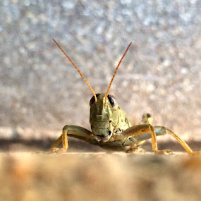Smiling Grasshopper  by Amanda  Castleman  - Instagram & Mobile iPhone ( macro, iphone, insect, grasshopper, mobile photography, animal,  )