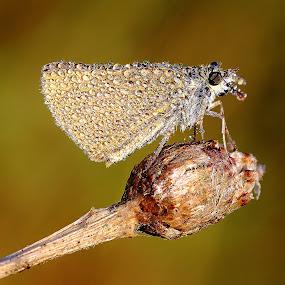 Noyé dans la rosée by Gérard CHATENET - Animals Insects & Spiders (  )