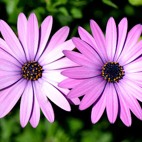 Mauve Daisy 28 by Mark Zouroudis - Nature Up Close Flowers - 2011-2013 ( two, mauve, perennial, daisy, flower, nature, flowers,  )