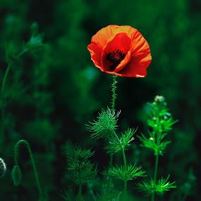 Poppy by Robert Mullen - Flowers Single Flower ( poppy fields, flowers, poppies, wild flowers, washington, flower,  )