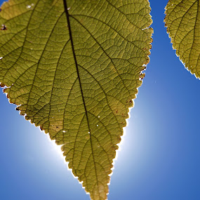 X-Ray Vision by Theodore Schlosser - Nature Up Close Leaves & Grasses ( sky, nature, blue, green, leaves, sun,  )