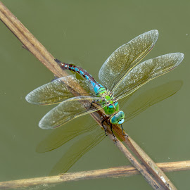 Dragonfly laying eggs 3 by Nenad Borojevic Foto - Animals Insects & Spiders ( dragonfly, eggs, egg, river, lake,  )