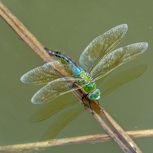 Dragonfly laying eggs 3_7117.jpg