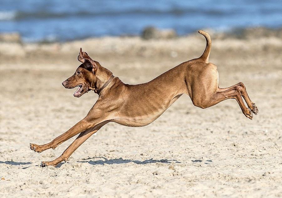 by Harold Blum - Animals - Dogs Running
