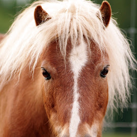Mr. Squeak by Giselle Pierce - Animals Horses ( miniature horse, mane, mane and tail, horse, blaze, gelding, tail )