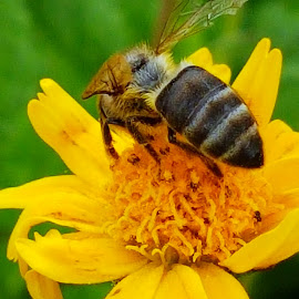 Busy buzz by Hayley Moortele - Animals Insects & Spiders ( #daisy, #bees, #insects, #endangeredspecies, #pollen )